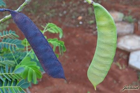 Bagas de sementes do flamboyanzinho - Caesalpinia gilliesii cultivo ...